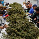 marihuana kanada obrabotka