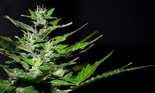 cannabis-cannaroots-bg